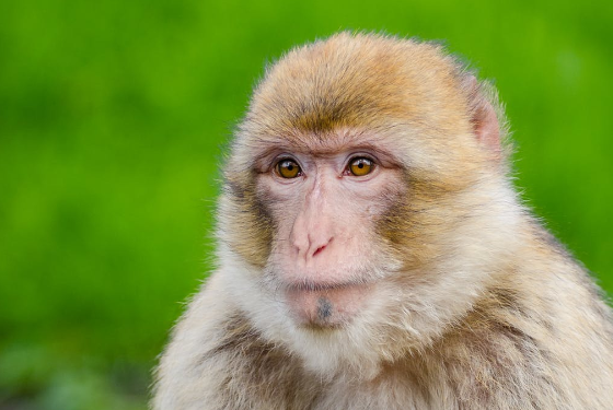 Herpes monkey infestation in Florida